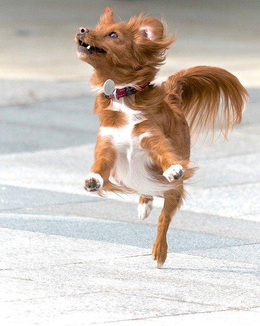 pubertijd bij honden