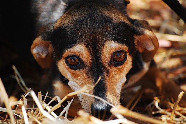 Een angstige hond reageert uit emotie. Deze emotie is vrijwel altijd negatief en kan zelfs gevaarlijk zijn. Als je een angstige hond probeert te benaderen en hij zit in het nauw dan is de kans groot dat hij van zich af zal bijten.